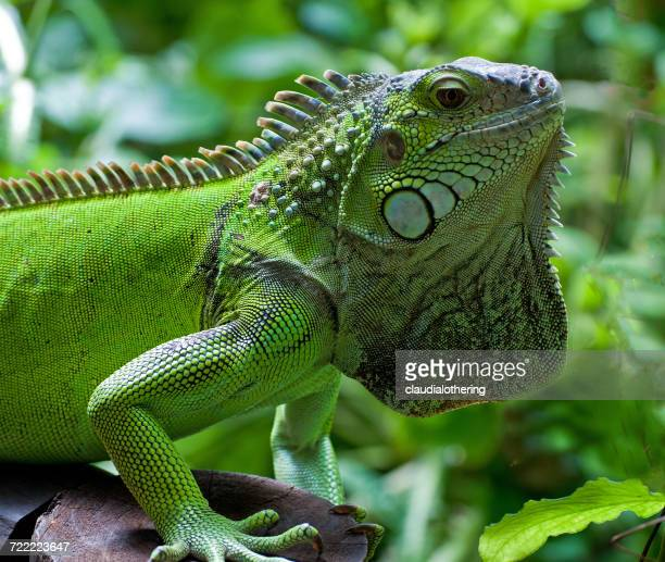 Green iguana, Knysna, Western Cape, South Africa