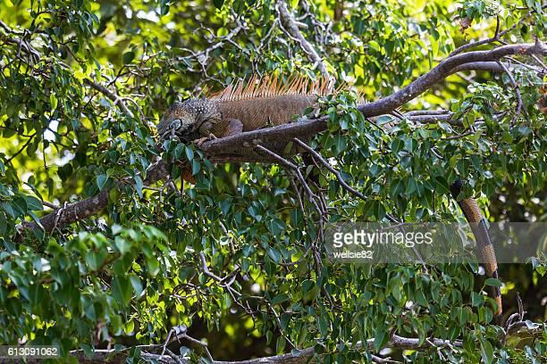 a green iguana laying on a branch - green iguana ストックフォトと画像