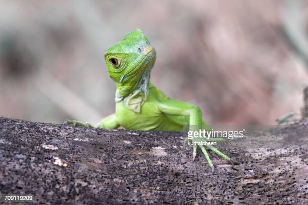 Green iguana on a tree trunk, Indonesia