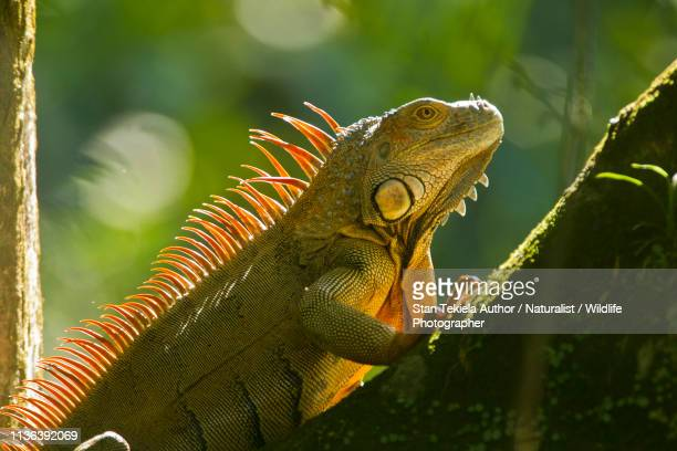 Green Iguana on branch in rain forest of Costa Rica