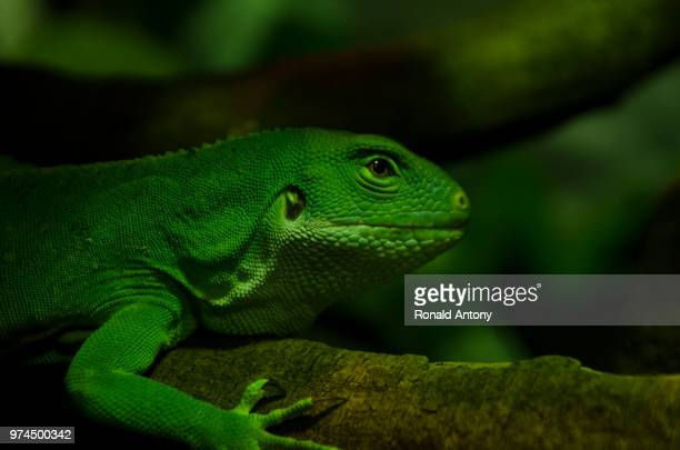 green iguana on branch, somersby, new south wales, australia - iguana imagens e fotografias de stock