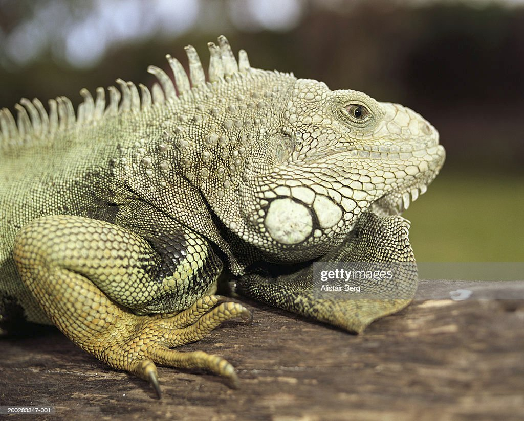 Green iguana (Iguana iguana) on log, side view, close-up : Stock Photo
