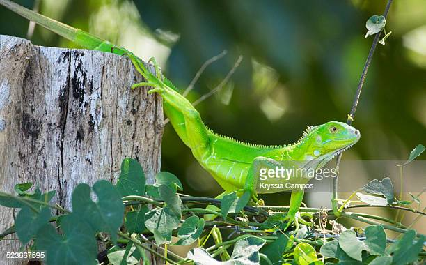 Green iguana on nature