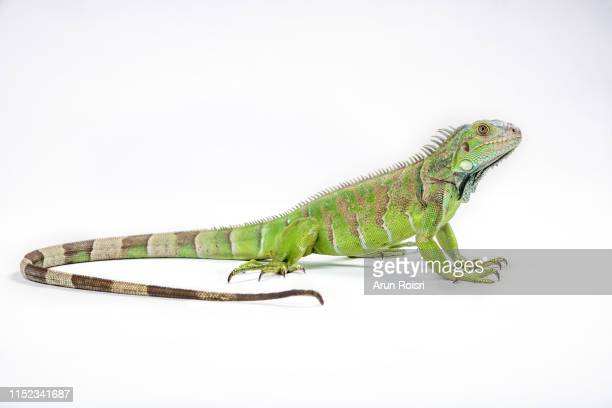 green iguana (iguana iguana) on white background - iguana fotografías e imágenes de stock