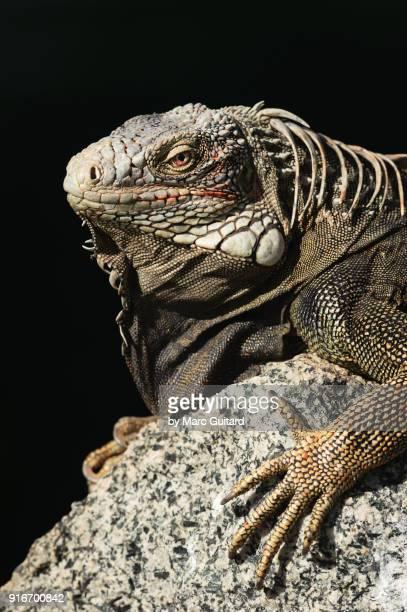 Green Iguana (Iguana Iguana), Oranjestad, Aruba