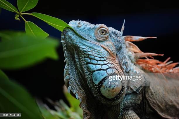 iguana verde - iguana fotografías e imágenes de stock