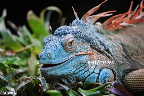 green iguana - iguana foto e immagini stock
