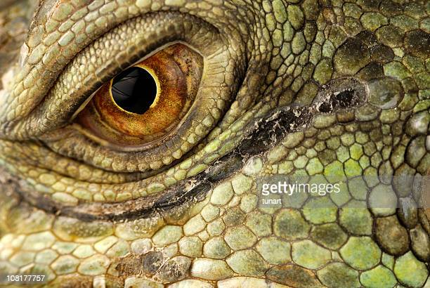 green iguana - reptile stock pictures, royalty-free photos & images