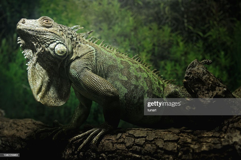 Green Iguana : Stock Photo