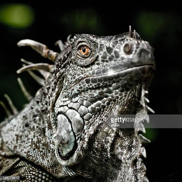 グリーンイグアナ - green iguana ストックフォトと画像