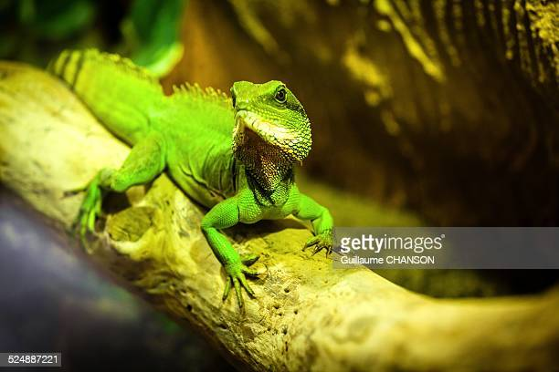 green iguana - loire atlantique stock pictures, royalty-free photos & images