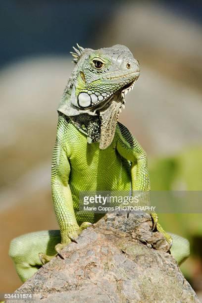 green iguana (iguana iguana) - green iguana ストックフォトと画像
