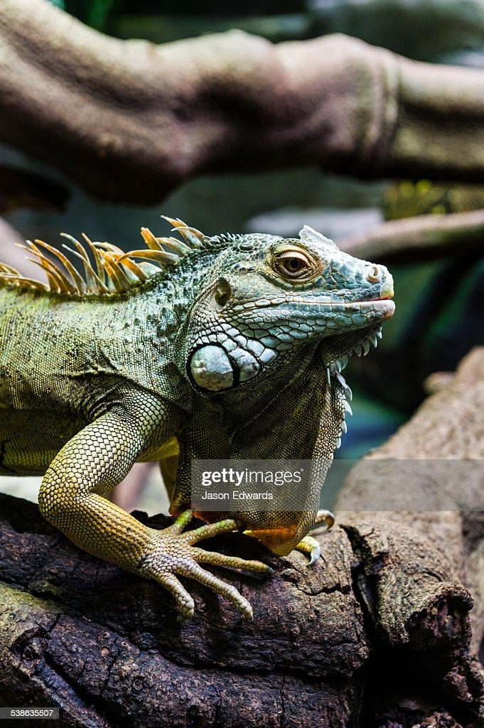A Green Iguana basking on a tree branch beneath a heat lamp to stay warm in a zoo exhibit. : Stock Photo