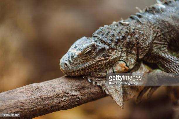 green iguana - iguana family stock photos and pictures