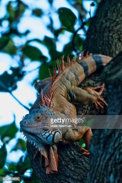 green iguana - green iguana ストックフォトと画像