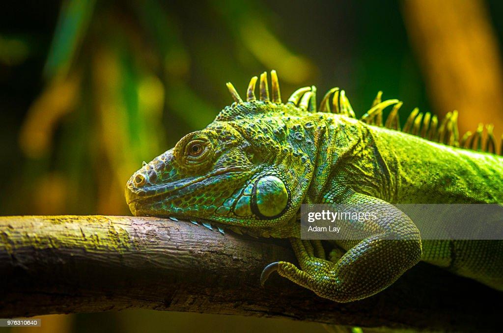 Green iguana (Iguana Iguana) : Stock Photo