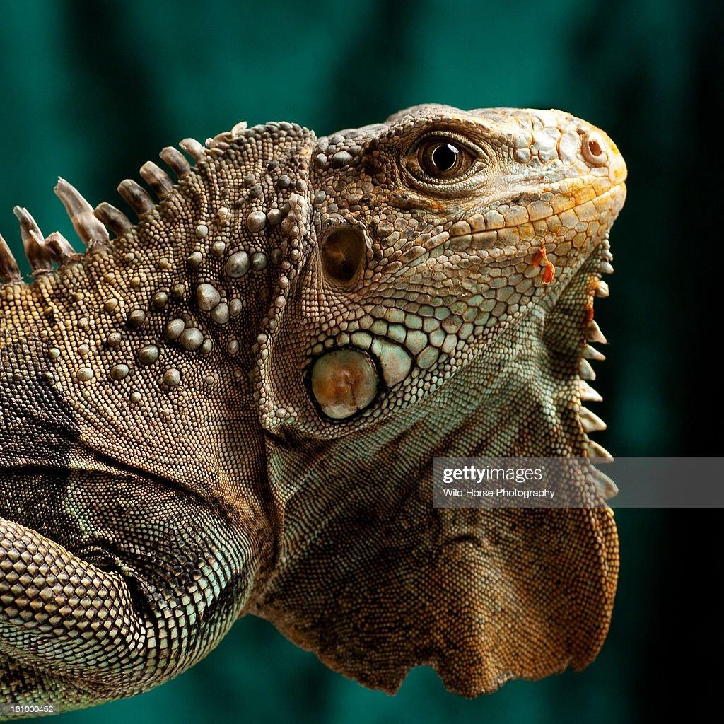 Green Iguana Portrait : Stock Photo
