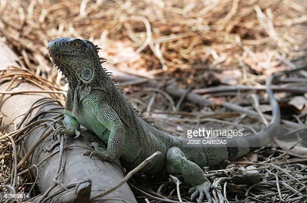 Green iguana rests in the farmyard in 'La Unica' farm La Herradura, 40 Km south of San Salvador on May 22, 2009. Felix Reyes breeds different species...