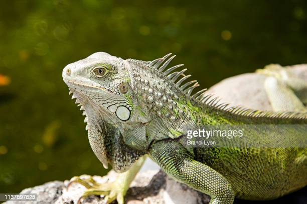 green iguana sun bathing on rock ledge in san juan, puerto rico. october 14, 2016 - salmonella bacteria stock pictures, royalty-free photos & images