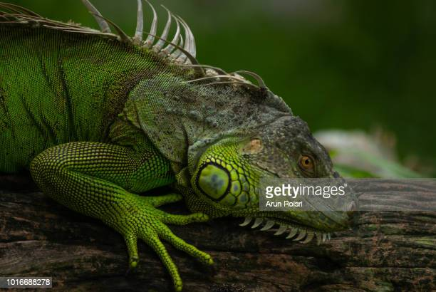green iguanas (iguana iguana) have strong jaws with razor-sharp teeth and sharp tails. - iguana family stock photos and pictures