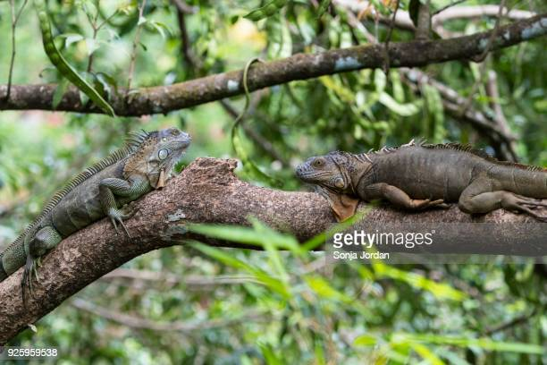 green iguanas (iguana iguana) lying on tree branch, costa rica - perching stock photos and pictures