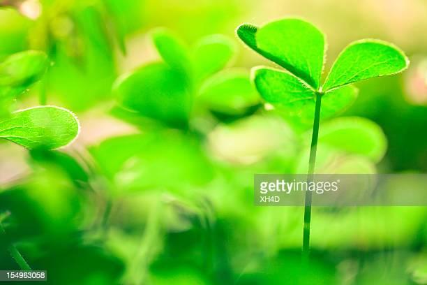 grün im frühling - 4 leaf clover stock-fotos und bilder