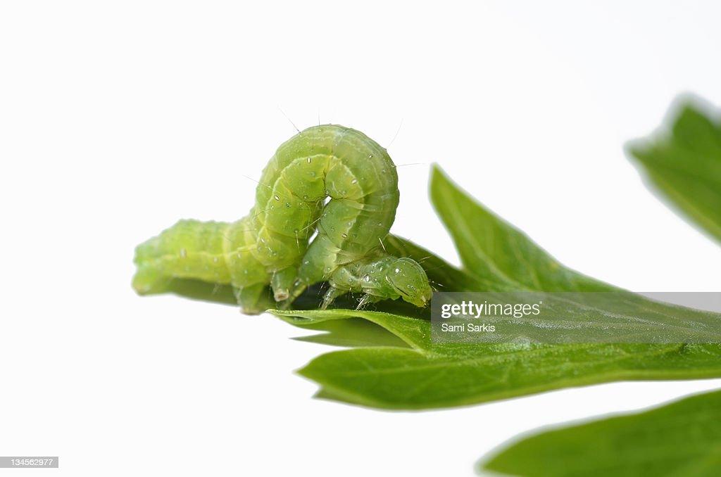 Green Inchworm on parsley leaf : Stock Photo