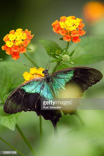 Green iridescent exotic butterfly on a leaf