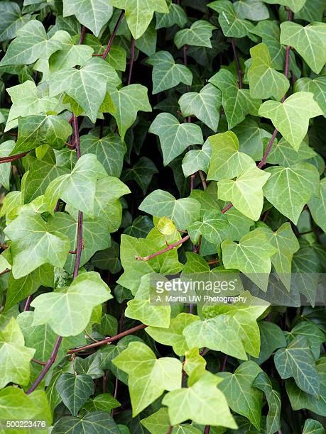 Green ivy leafs