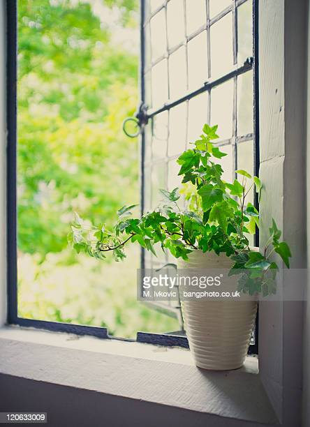 Green Ivy plant sat by open leaded window