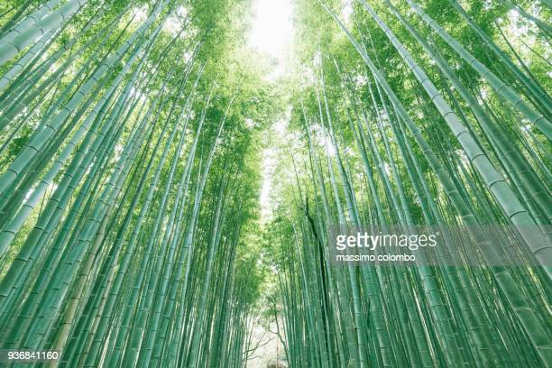 green japan bamboo forest - bamboo forest stock photos and pictures