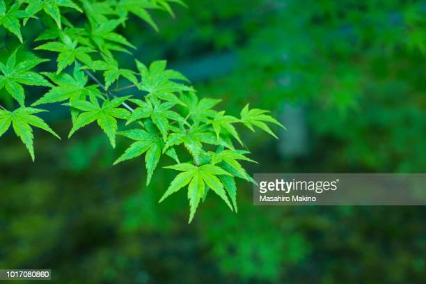 green japanese maple leaves - japanese maple stock pictures, royalty-free photos & images
