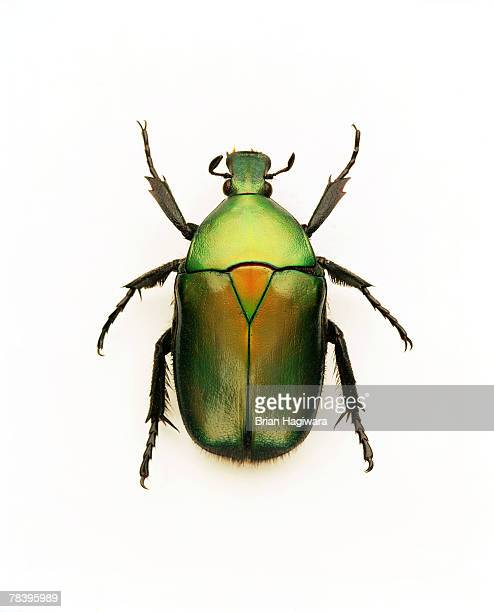green june beetle - horned beetle stock pictures, royalty-free photos & images