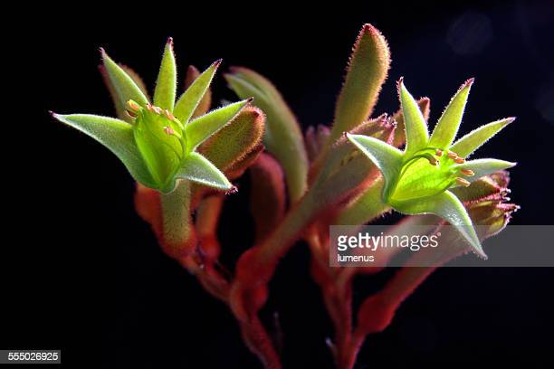 Green kangaroo paw flowers