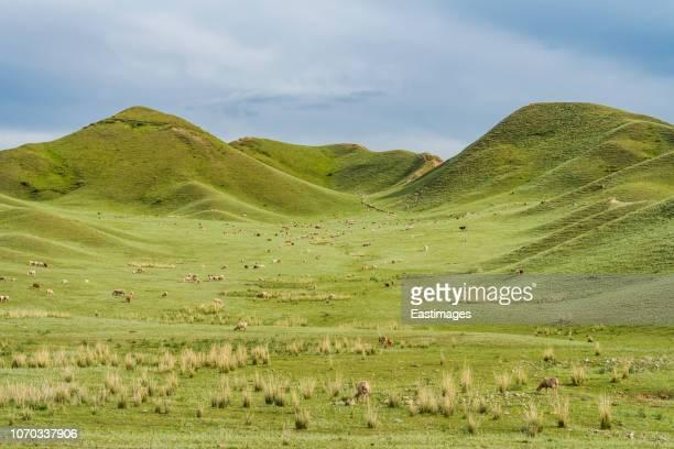 green land of tianshan mountain,xinjiang,china. - 放牧地 ストックフォトと画像