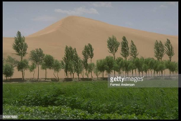 Green landscape separated fr encroaching sand dunes by trees planted in forestation program to prevent desertification of fertile soil
