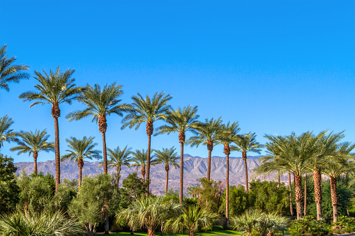 Green landscape with a row of palm trees and mountain range in the background in the Coachella Valley in California 1083788428