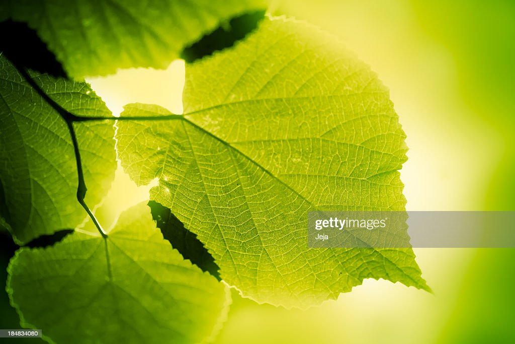 Green large leaves lighten from behind on green background : Stock Photo