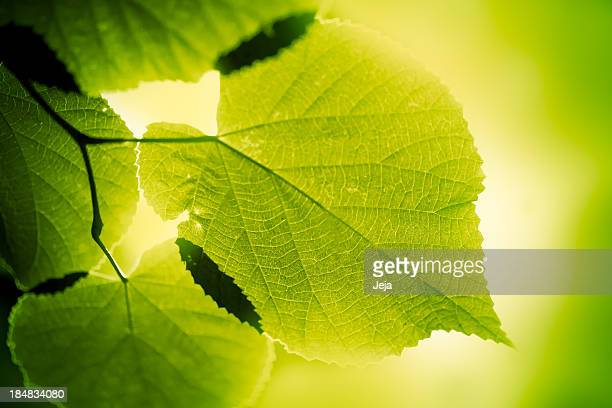 green large leaves lighten from behind on green background - photosynthesis stock photos and pictures