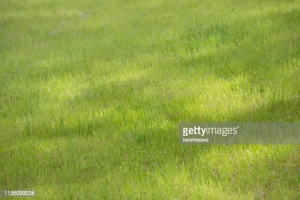 green lawn background. - 草原 ストックフォトと画像