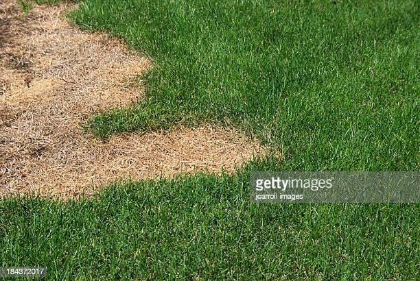 green lawn with dead spot. - dead stock pictures, royalty-free photos & images
