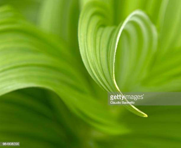 green leaf abstract - カリフォルニアバイケイソウ ストックフォトと画像