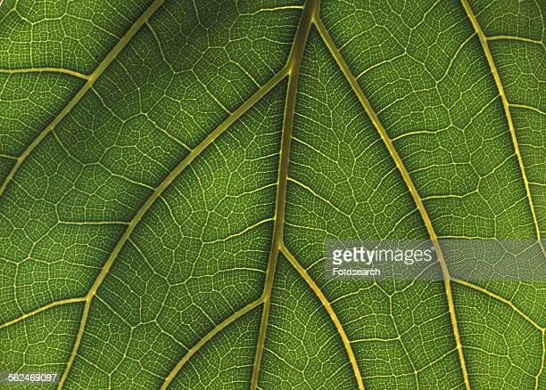 Green leaf artery
