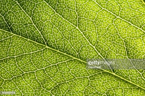 green leaf close up - blood vessels stock pictures, royalty-free photos & images