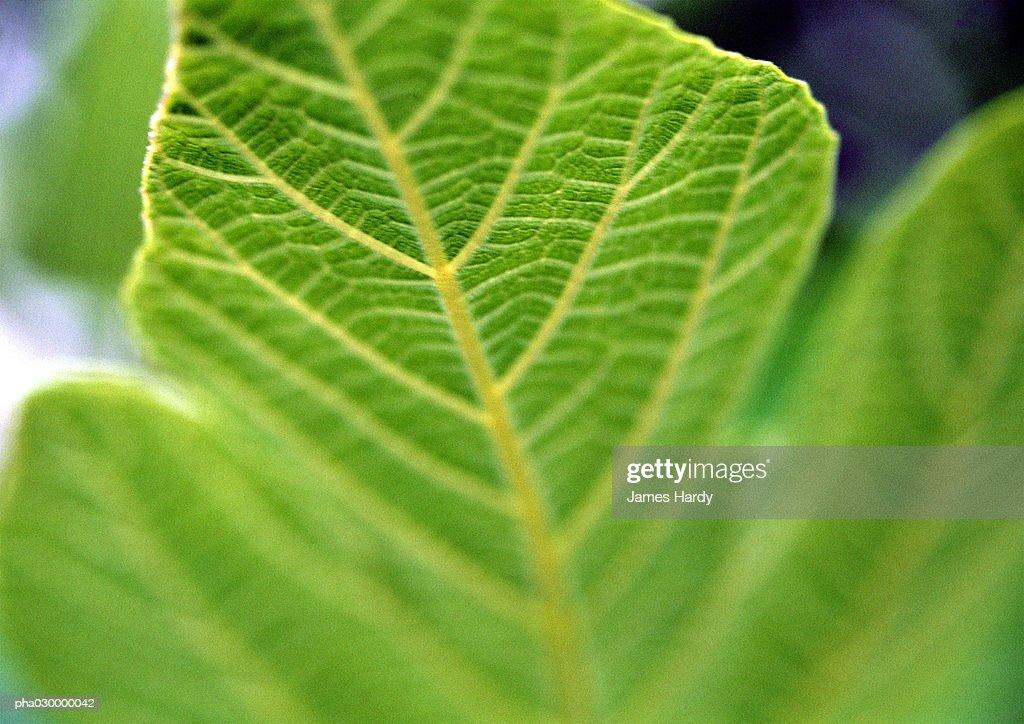 Green leaf, close-up, blurred. : Stockfoto