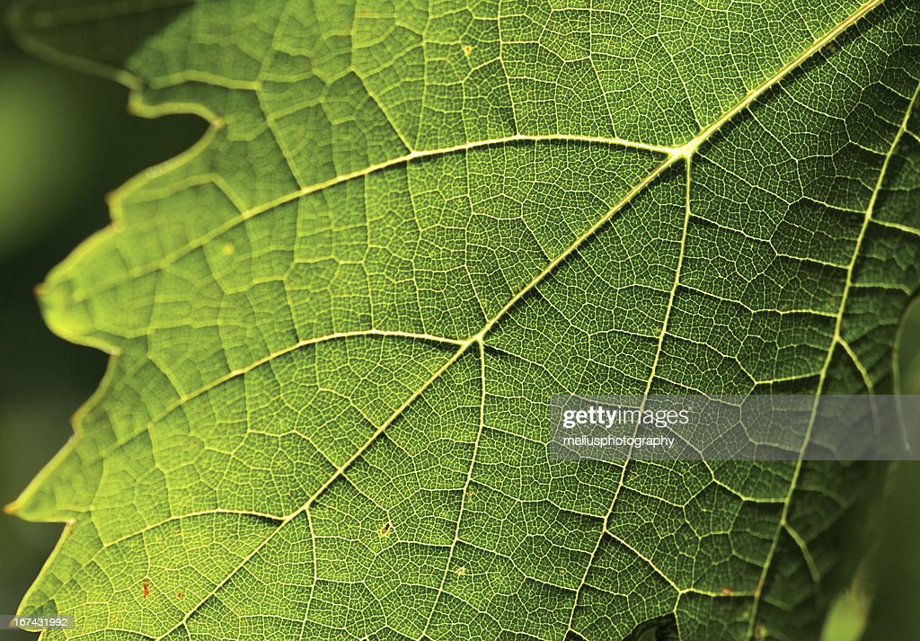 green leaf close-up : Stock Photo