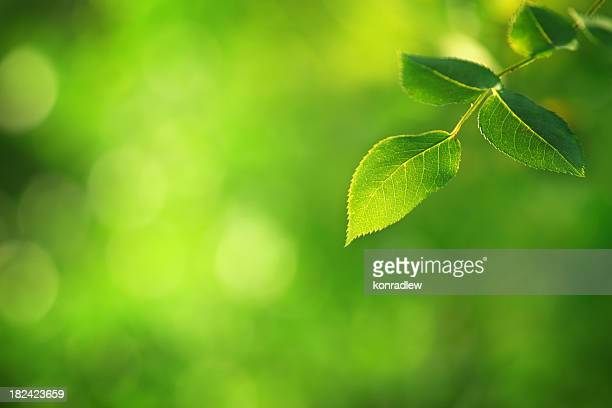 Green Leaf - defocused background