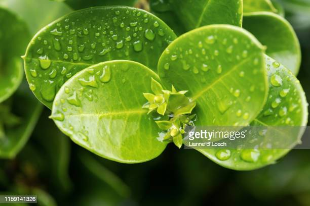 green leaf drops - lianne loach stock pictures, royalty-free photos & images