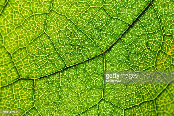 Green leaf, Hazel -Corylus-, leaf veins