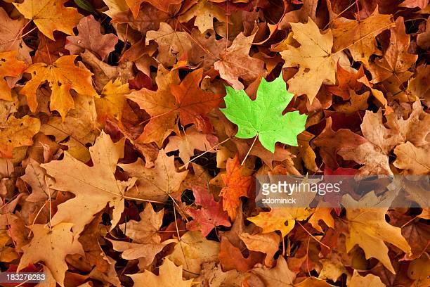グリーンリーフの秋